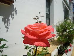 Uma rosa espanhola, linda como as nossas, para você meu doce Reginaldo!