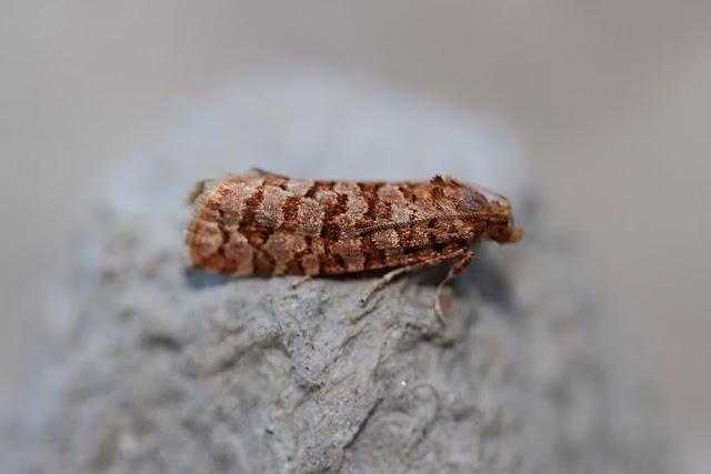 Lozotaeniodes Formosana