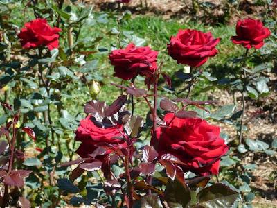 Cách chăm sóc hoa hồng 02