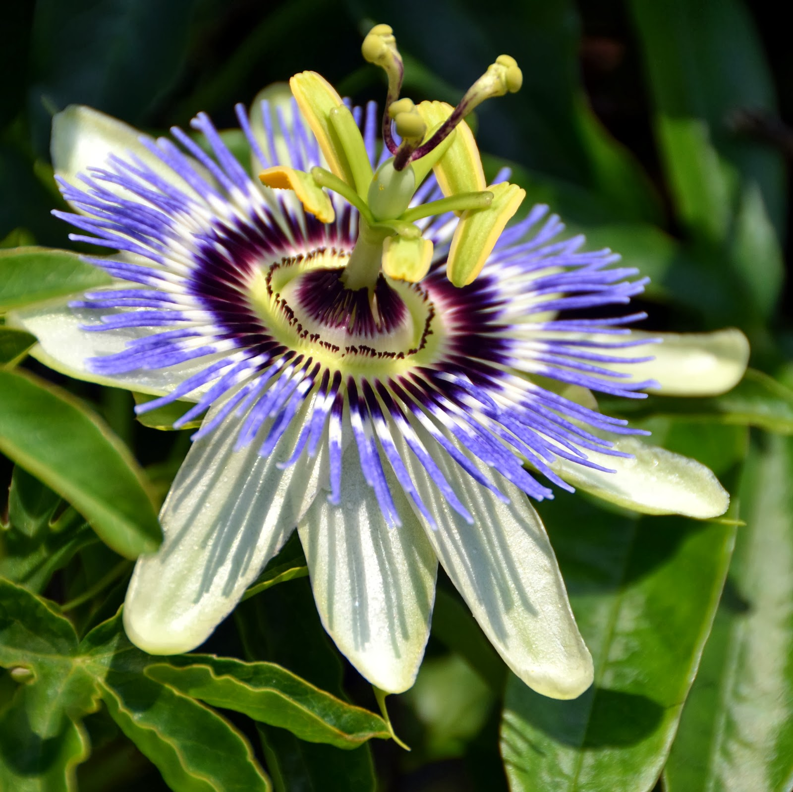 A word of tree a whisper of stone Passion flower not only for Lent