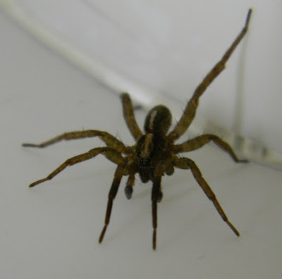 Michigan Spiders - Wolf Spider-1