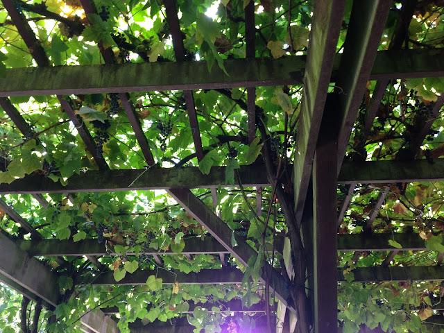 grape vine pergola grassroots garden eugene oregon