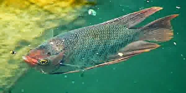 Cara Mengobati Ikan Gurame Korengan