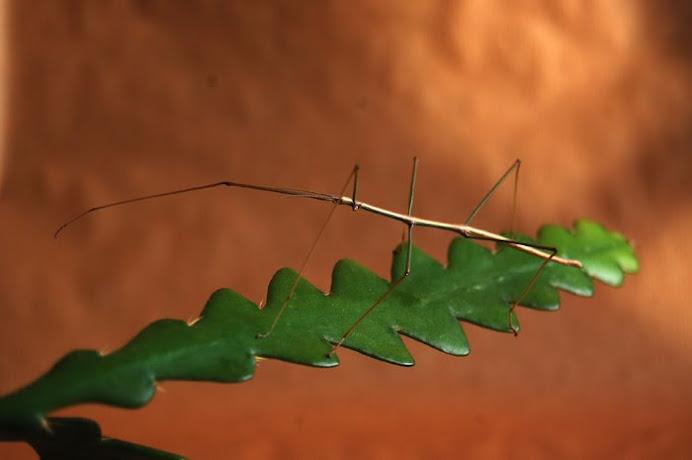 Leptynia sp