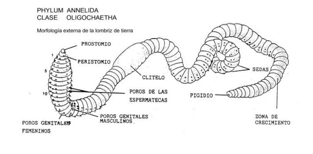 5.- Disección de Cefalópodos (Sepia) y de Anélidos (Oligoquetos ...