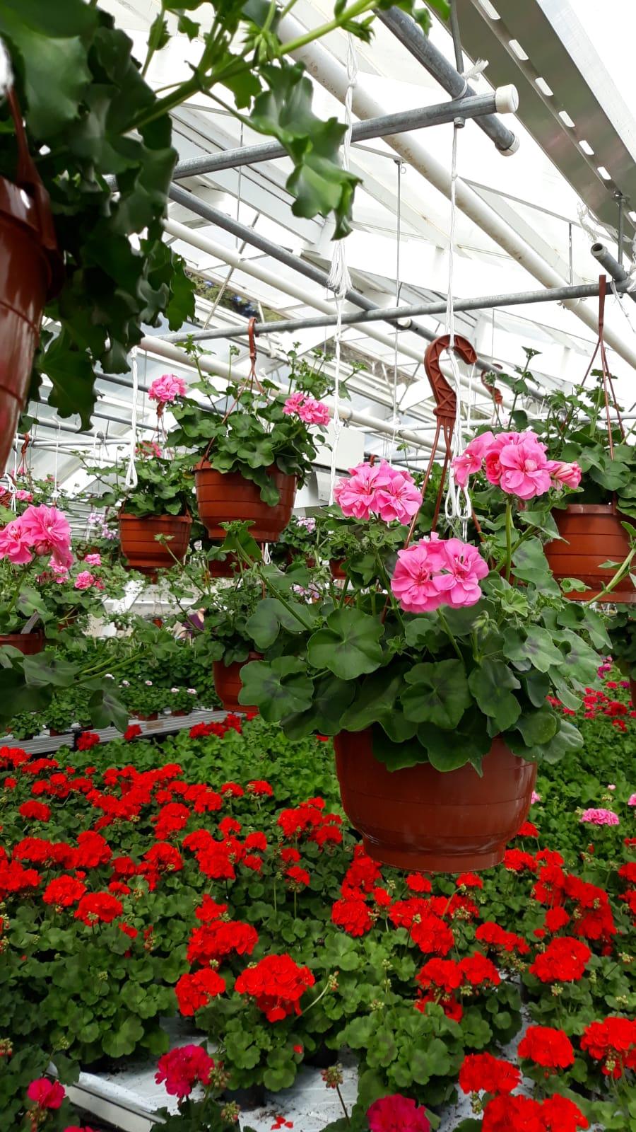 Kesäkukkia myynnissä puutarhalla joka päivä klo 10-16, Uudenmaankatu 181