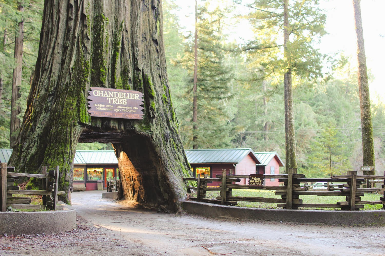 Thetravelingteacher chandelier drive thru tree california the grounds are host to a bounty of fallen and uprooted trees creating a natural playground to be enjoyed by kids and adults alike arubaitofo Choice Image