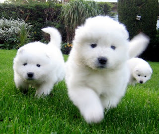 Funny Cute White Puppies