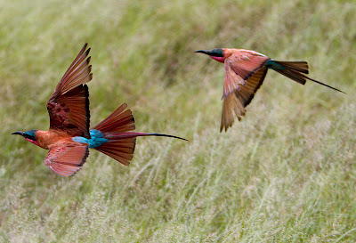 Southern-Carmine-Bee-eater