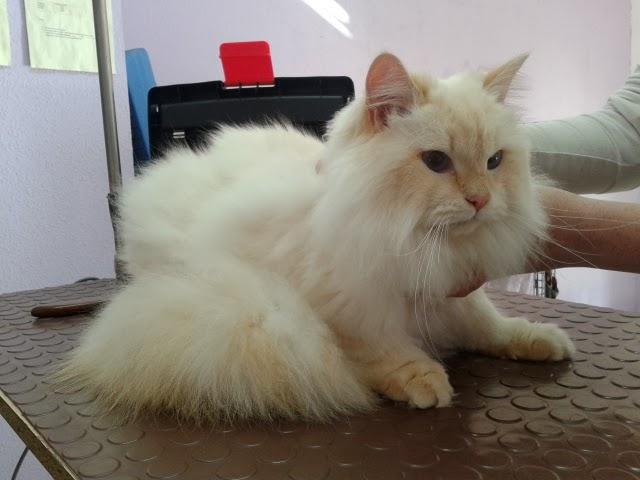 mascotas de casa: peluqueria felina