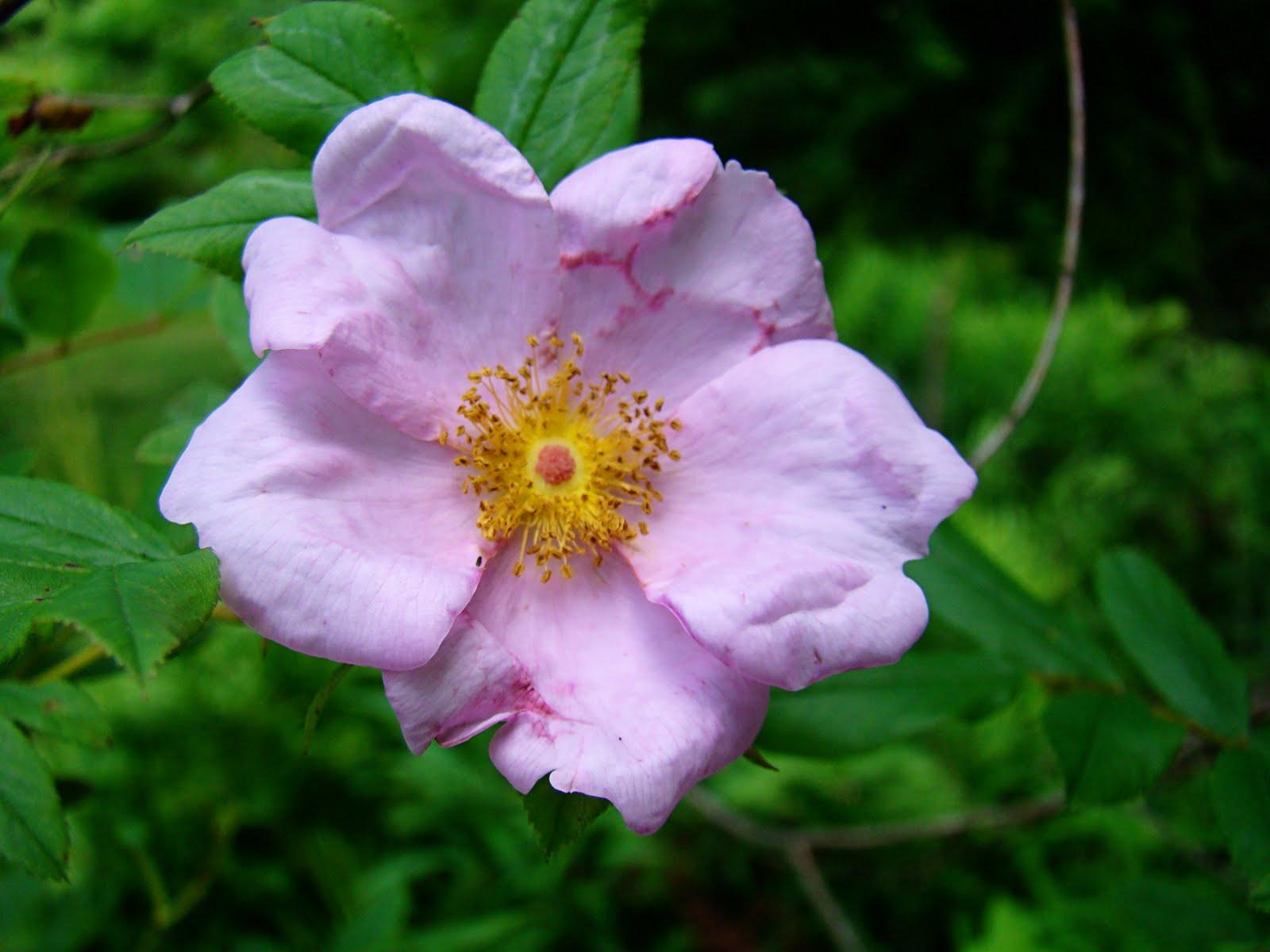 Rurification: Swamp Rose