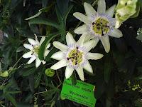 białe kwiaty męczennicy jadalnej, passiflory jadalnej