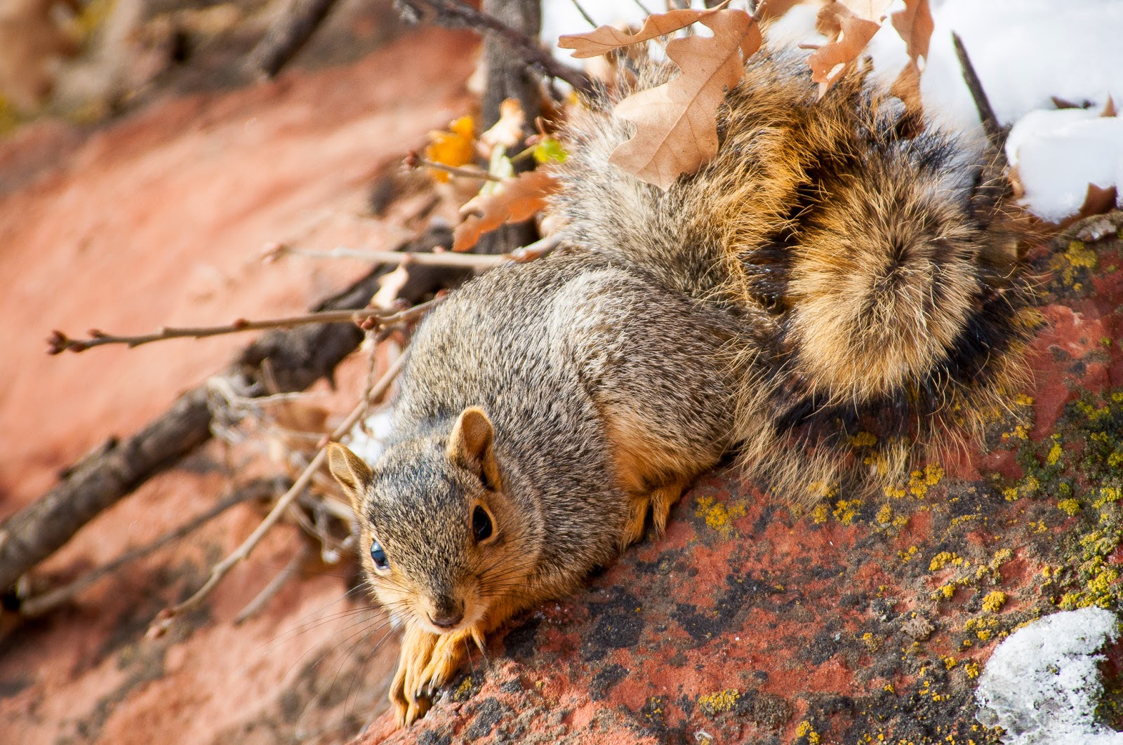Red Squirrel, Waterton Canyon