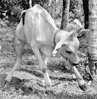 Παρά φύση στάση του σώματος σε βοοειδές πάσχον από λύσσα