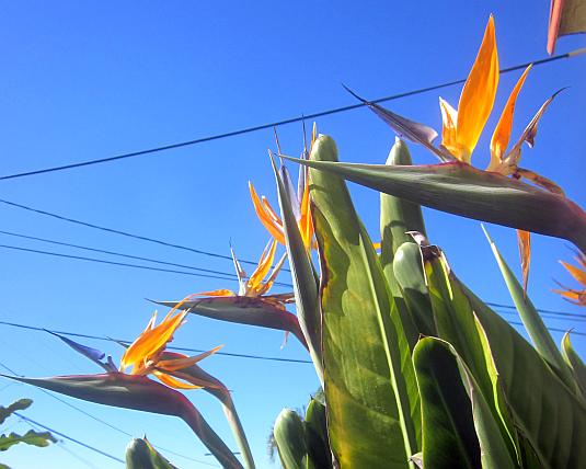 Strelitzia, Bird of Paradise, Crane Flower