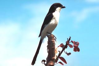 Burung Cendet : Burung Kicau : Informasi Seputar Habitat Burung Cendet Si Predator