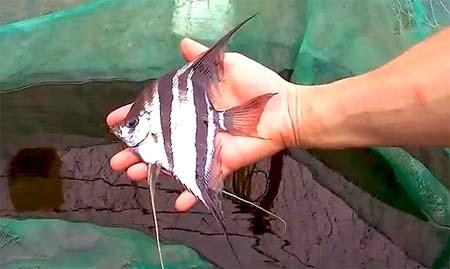 Wild Angelfish Video