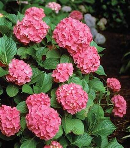 Como cuidar la hortencia cuidado de plantas - Como cuidar las hortensias en maceta ...