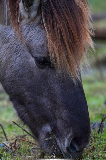 Konik - Konik Horse - Equus caballus caballus