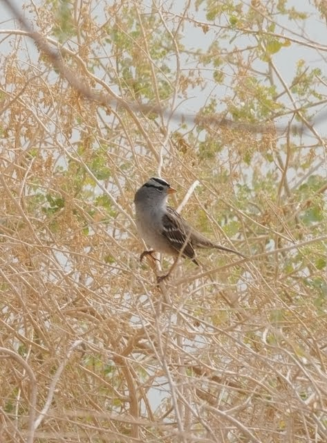 White-crowned Sparrow 073