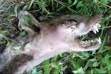 Chupa-cabra? Alienígena? Mulher encontra misteriosa criatura perto de sua casa e tira fotos