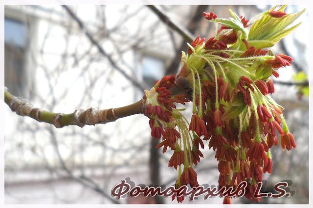 клена цветение