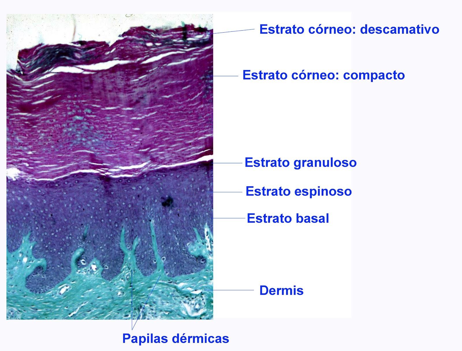 el moderno prometeo: Fisiología y desarrollo de la epidermis.