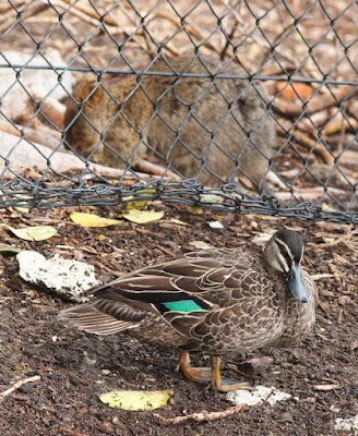 Pacific Black Duck and Quokka