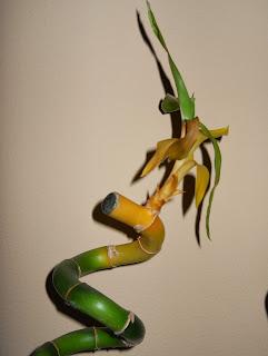 bambu retorcido en espiral