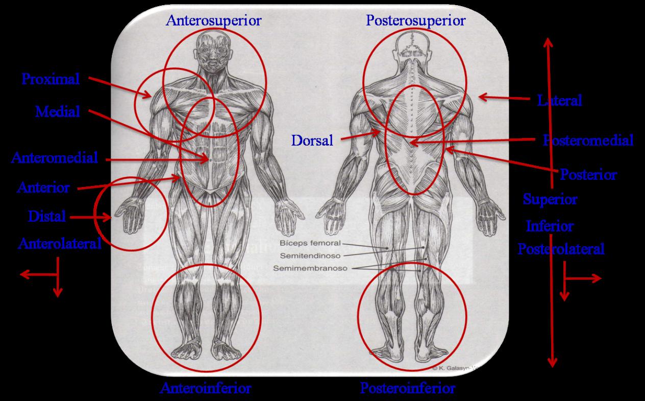 Terminología sobre la dirección anatómica