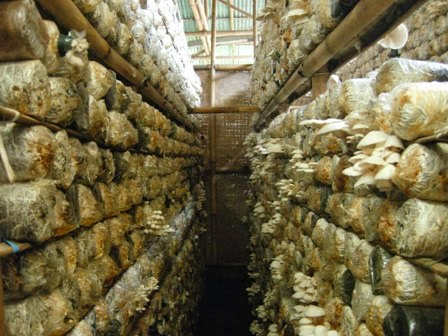 Revolusi Ilmiah - Tahap persiapan dan penanaman jamur