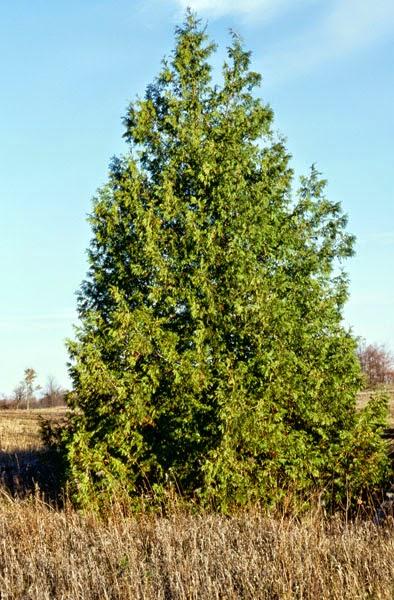 Mon arbre le de vivre le douaire tout savoir sur le thuya thuja c dre canada en isol - Maladie des thuyas ...
