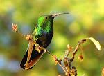 Colibri falle-vert.