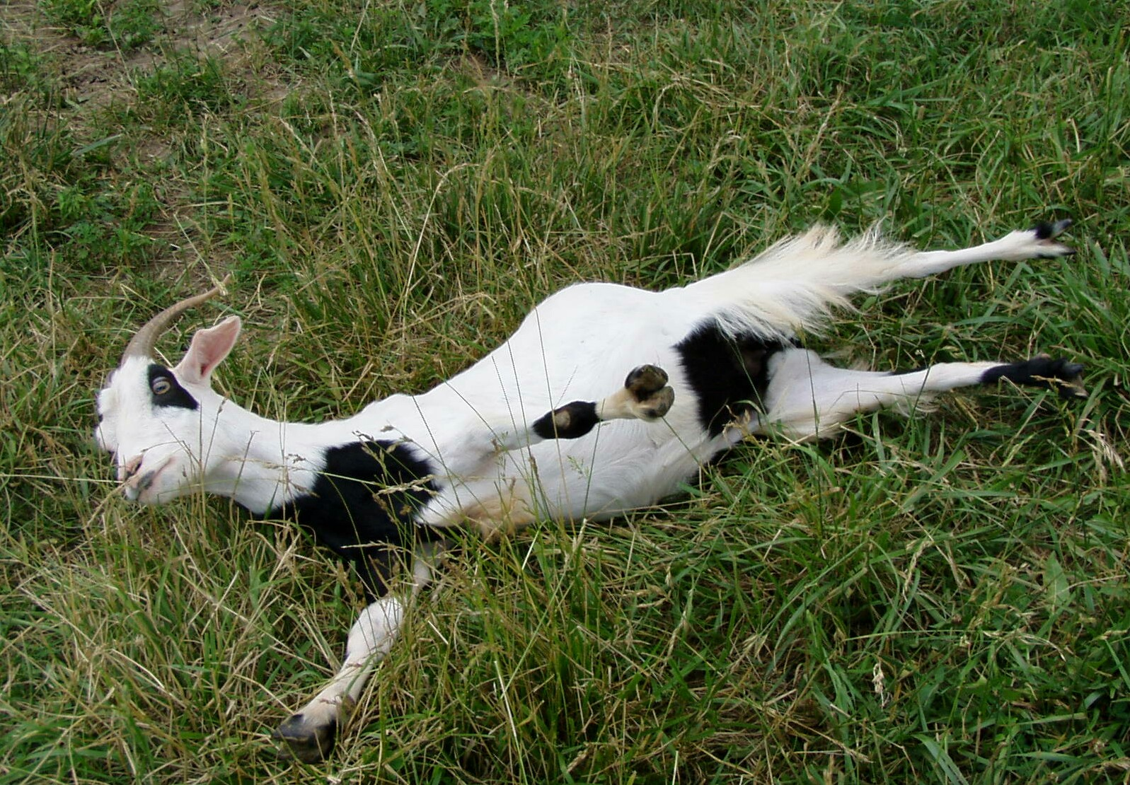 fainting goats Fainting goat is within the scope of wikiproject tennessee, an open collaborative effort to coordinate work for and sustain comprehensive coverage of tennessee and.