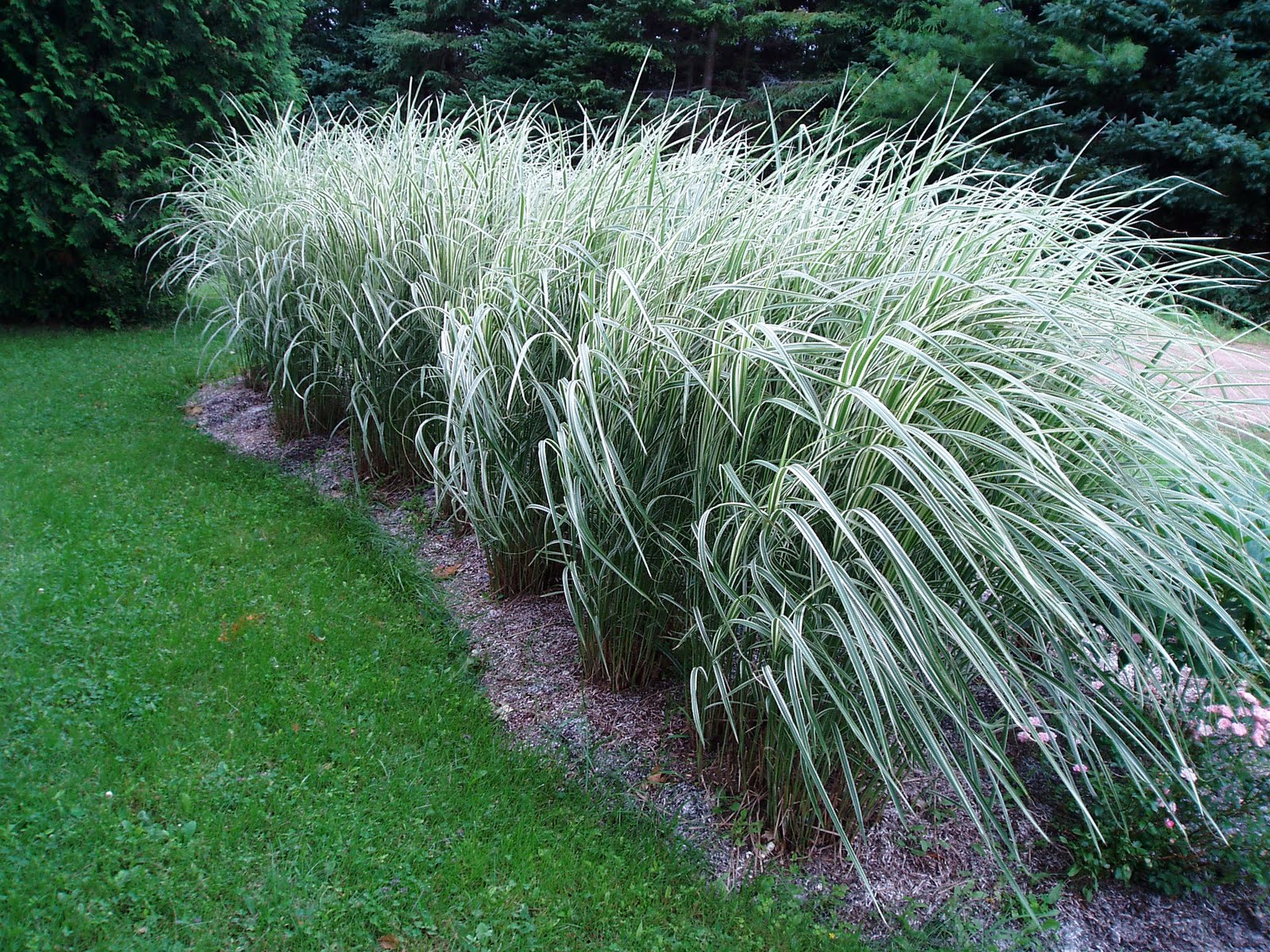 Lovegrass farm miscanthus sinensis 39 variegatus for Tall grass plants