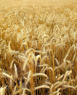 A field of golden wheat