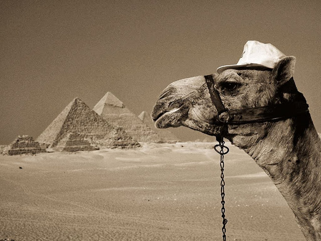 Camel Egypt Wallpaper