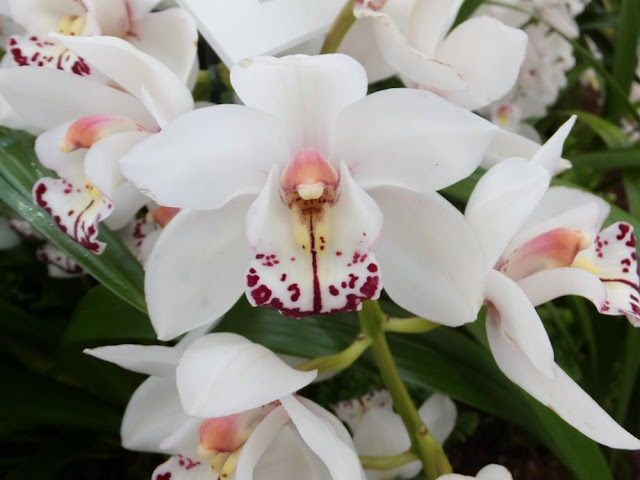 "Cymbidium West Down ""Winter White"""
