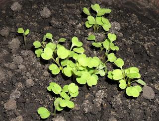 4 февраля, салат Рукола растет на лоджии