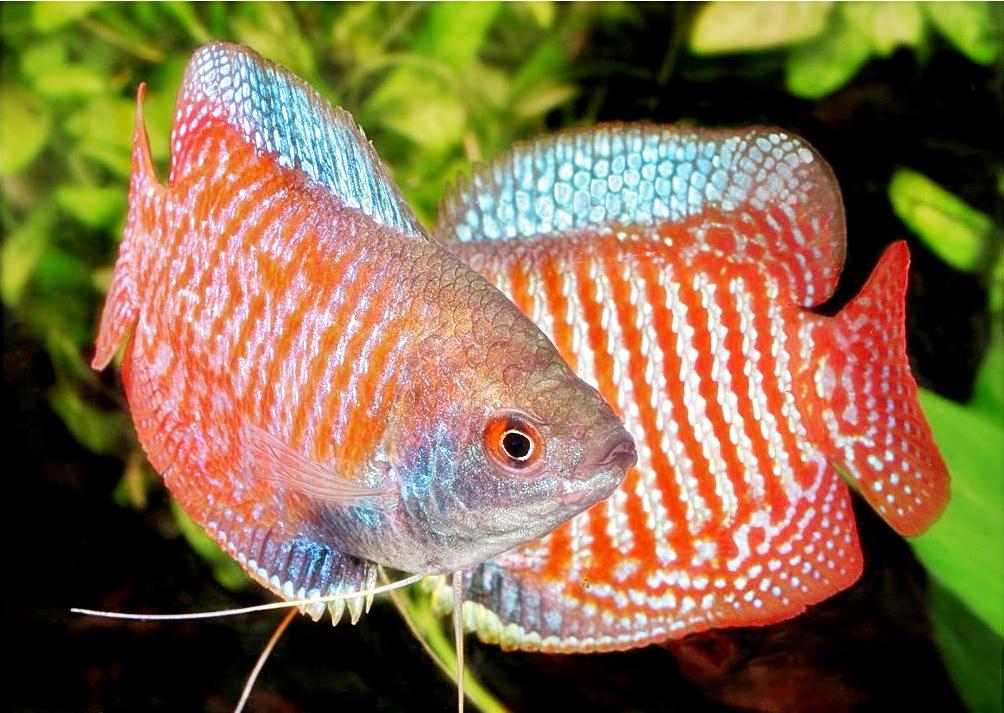Gambar Foto Hewan Gambar Ikan Gurame Hias