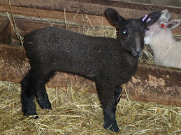 BFL ewe lamb for sale