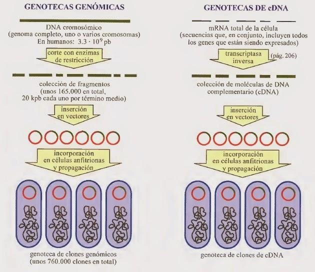 Identificación y clonación de genes de interés | Apuntes de ...