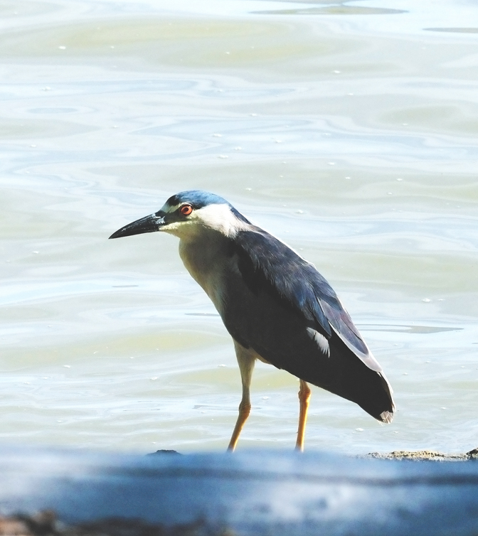 Black crowned Night Heron_3189