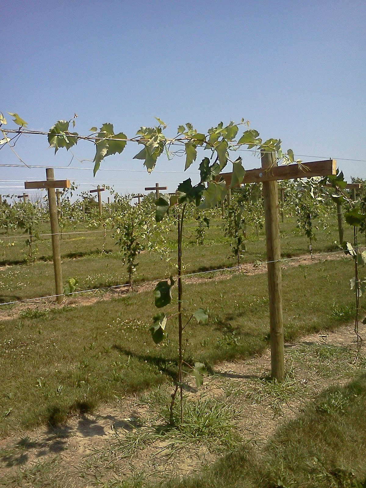 Geneva Double Curtain Build A Trellis For Grapes At Home