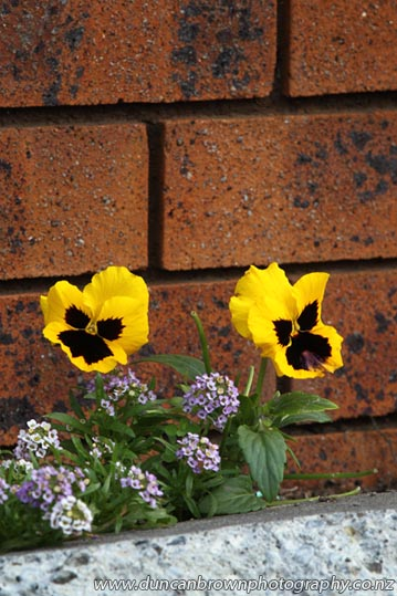 Yellow pansies by brick wall photograph
