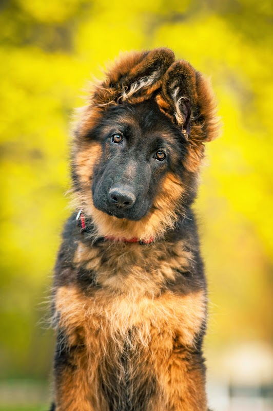 Portrait of a cute German Shepherd Puppy in a garden