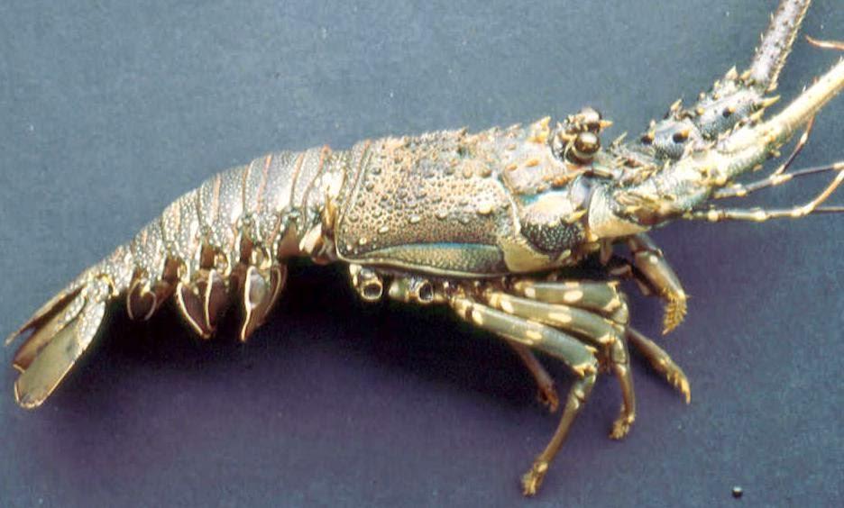Jenis Jenis Lobster Air Laut Mister Lobster Yummy