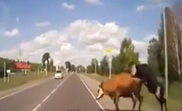 [+Video] Chocan una vaca cuando tenía sexo con un toro