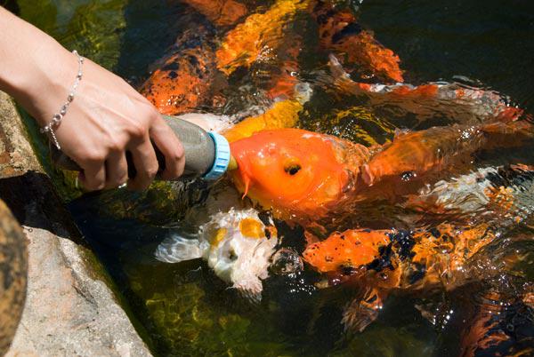 Sou ecol gico muito mais eco peixe que toma mamadeira for Carpa comida