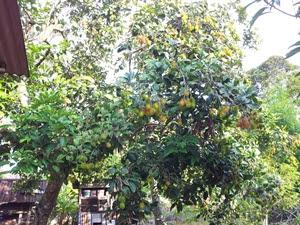 Musim Rambutan